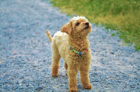 The Rising Popularity of Goldendoodles & Labradoodles and Which One is Better for You Family